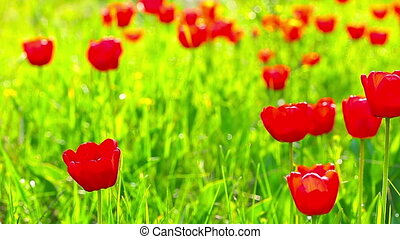 jardin, aube, fond, tulipes