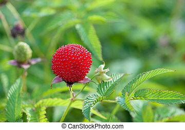 jardin, baie, hybride, de, mûres, et, framboise