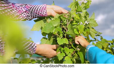 jardin, cueillette, cassis, femme