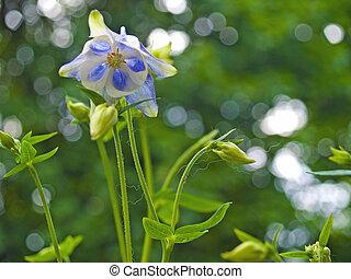 jardin, ensoleillé, ancolie, printemps, fleurir