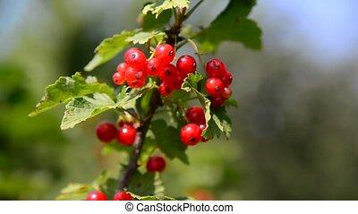 jardin, ensoleillé, groseille, branche, jour, rouges