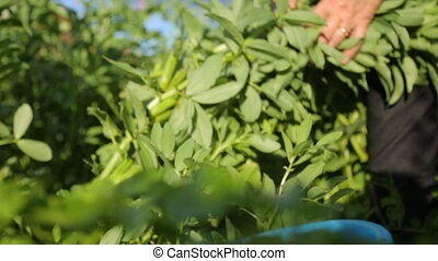 jardin, femme, cueillette, haricots