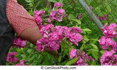jardin fleur, femme, mains, cueillette, bouquet