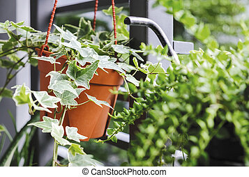 jardin fleur, pot, hélix, ou, hedera, anglaise, petit, ...