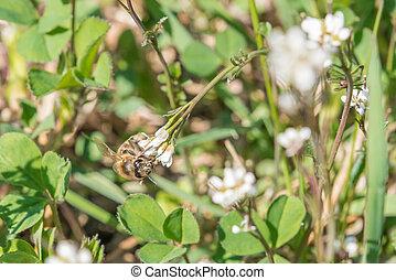 jardin fleur, rose, abeille, closeup, blanc