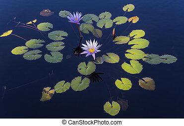 jardin, floride, usa, waterlilies, naples, botanique