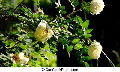 jardin, lumière, buisson, coucher soleil, rose, fleurs