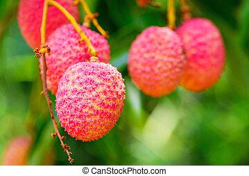jardin, lychee, fruit., arbre, asie, fruit, thaïlande