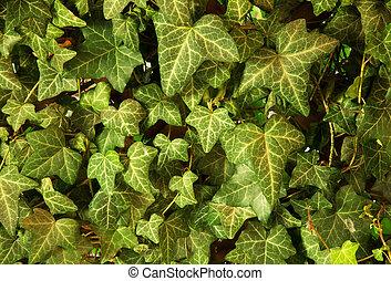 jardin, mur, feuilles, lierre, croissant, arbor., horizontal