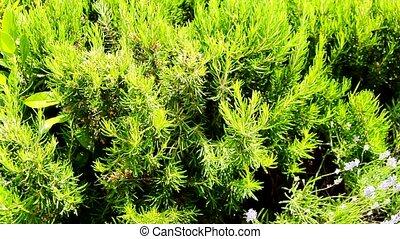 jardin, perpétuel, vert, délicieux, herbe, romarin, épice