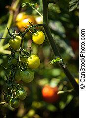 jardin, photo, ensoleillé, lit, mûrir, jour, tomates