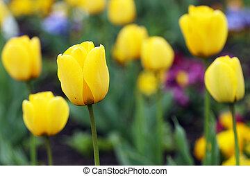 jardin, printemps, tulipe jaune, saison, fleurs