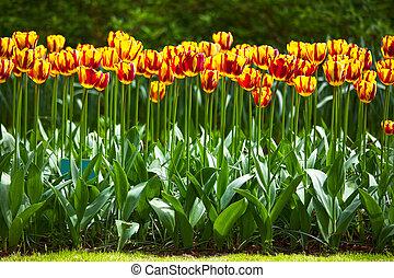 jardin, printemps, tulipe, modèle fond, fleurs, ou