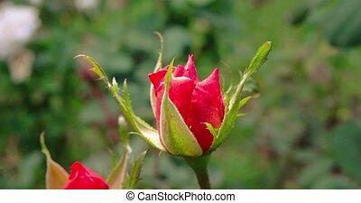 jardin, rose, automne, closeup, petit, scarlett
