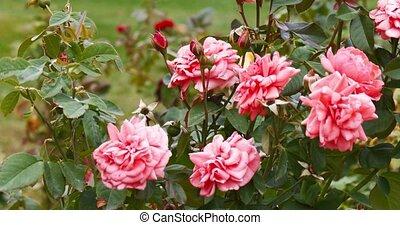 jardin, roses, en mouvement, vent, battement des gouvernes, rouges
