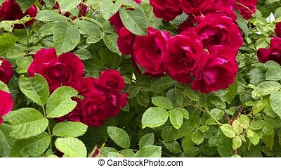 jardin, roses, rouges, sauvage, vent, mouvement