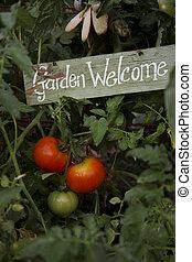 jardin, tomates
