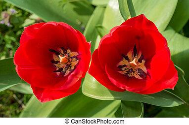 jardin, tulipe rouge