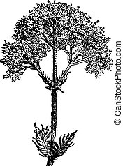 jardin, vendange, valériane, officinalis), valériane, (valeriana, ou, engraving.