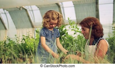 jardinage, girl, petit, greenhouse., grand-mère, personne agee