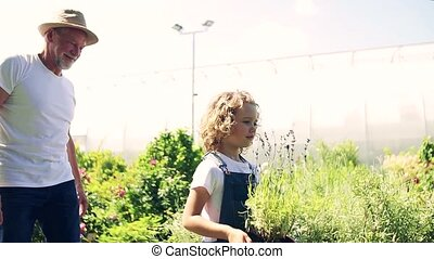 jardinage, girl, petit, greenhouse., personne agee, grand-père