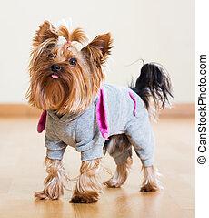 jas, terrier, dog, yorkshire