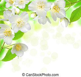 jasmijn, bloem, met, bladeren, mooi, achtergrond