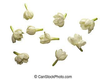jasmijn, bloem, verzameling, vrijstaand