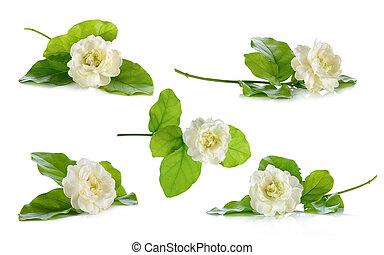 jasmijn, bloem, vrijstaand, op, de, witte achtergrond