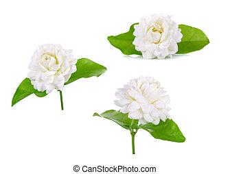 jasmijn, bloem, vrijstaand, op wit, achtergrond