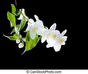 jasmijn, bloemen, op, black