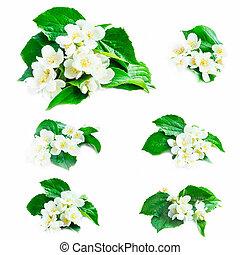 jasmijn, bloemen, verzameling