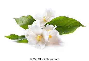 jasmijn, witte bloem, vrijstaand, op wit, achtergrond