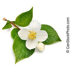 jasmin, fleur