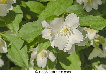 jasmin, fleurs, closeup