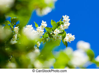 jasmine against blue sky