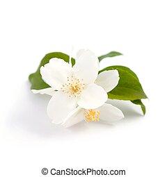 An image of beautiful flowers of jasmine