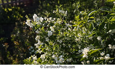 Jasmine - blooming jasmine in the evening sun