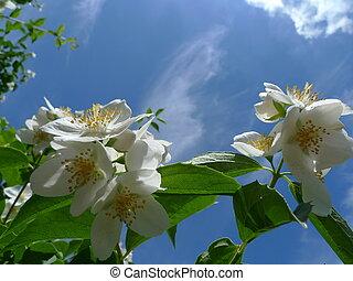 Jasmine blossom against ble sky