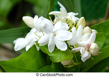Jasmine blossoming on tree