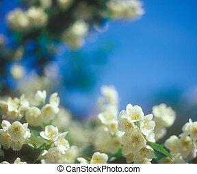 Jasmine blossoms against blue sky.
