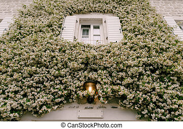 Jasmine curling up the wall by a window with open shutters and a street lamp on.