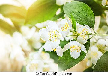 Jasmine flower - Beauty jasmine flower background, selective...