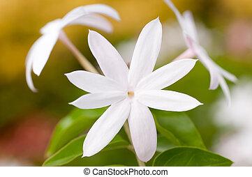 Jasmine flower extreme close up in the garden