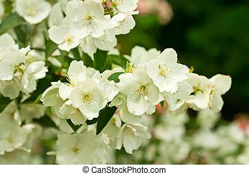 Jasmine flower growing on the bush in garden, floral ...