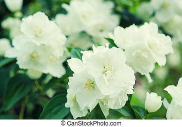 Jasmine flower growing on the bush in garden, natural floral...