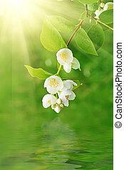 Jasmine flower growing on the bush in garden with sun rays ...