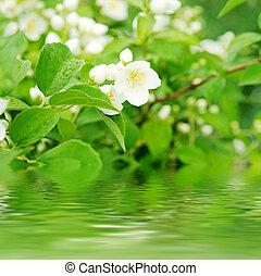 Jasmine flower growing on the bush in garden with water ...