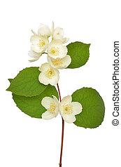 Jasmine flower isolated on a white background