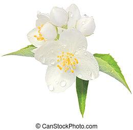 Jasmine flower mock orange blossom macro closeup isolated, ...